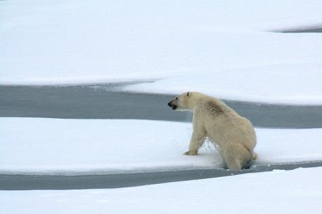 polar-bear-1574995_640