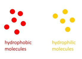 hydrophilic-and-phobic-cropped