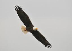 bald-eagle-1018717_640