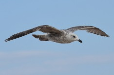 seagull-2354382_640