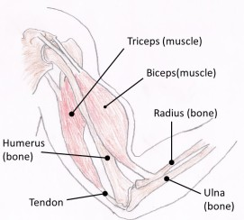 ArmMuscles labelled